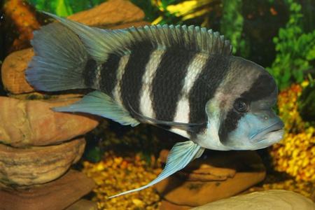 convict lake: Frontosa - big fresh-water fish, African cichlid lakes Tanganyika