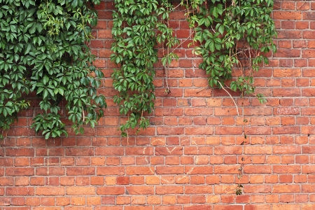 Old red brick wall and wild grapes hanging down on it photo