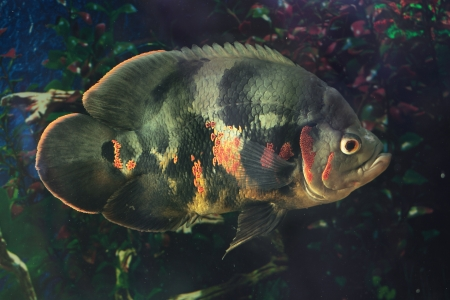 large cichlid: Astronotus ocellatus (Tiger), - big fresh-water fish, South American cichlid