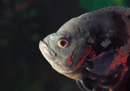 peces de acuario: Astronotus ocellatus (Tiger), - los peces de agua dulce grandes, Sur América cíclido Foto de archivo