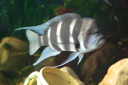 frontosa: Frontosa - big fresh-water fish, African cichlid lakes Tanganyika