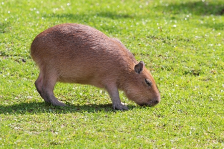 are grazed: Capybara grazed on a green lawn Stock Photo