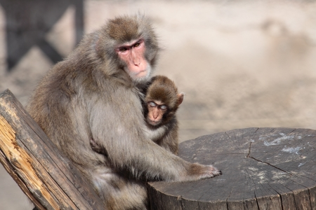 Japanese Macaque together with a small offspring photo
