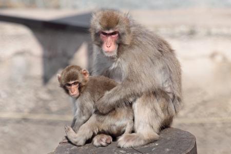 the offspring: Japon�s (Macaca fuscata), tambi�n conocido como el mono de la nieve, junto con una peque�a descendencia