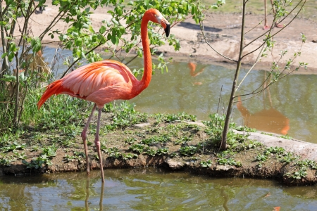 The bird American Flamingo (Phoenicopterus ruber) stand in water
