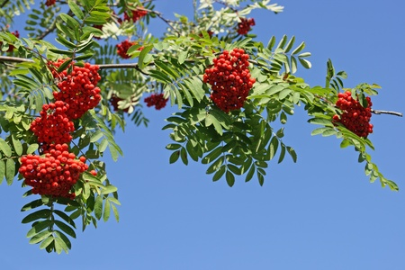 Branch of a mountain ash with red berries against the blue sky photo