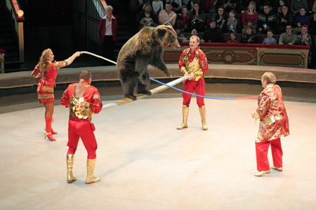 trained: MOSCOW, RUSSIA - NOVEMBER 27: The presentation of the Golden Buff. Trained bear of the Moscow State Circus on November 27, 2011 in Moscow, Russia