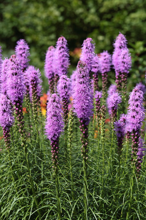 Liatris (Blazing-star, Gay-feather or Button snakeroot) is a genus of ornamental plants in the Asteraceae family