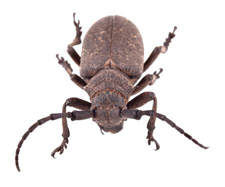 lamia: The weaver beetle (Lamia textor) isolated on a white background Stock Photo