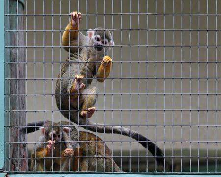 sciureus: Common squirrel monkey (Saimiri sciureus)