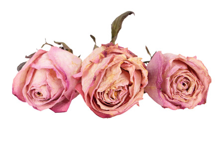 Three bud dried pink roses, isolated on white background photo