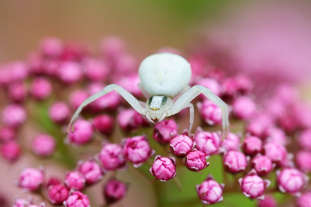 thomisidae: The white spider Crab spider (Thomisidae) on a lilac flower, macro