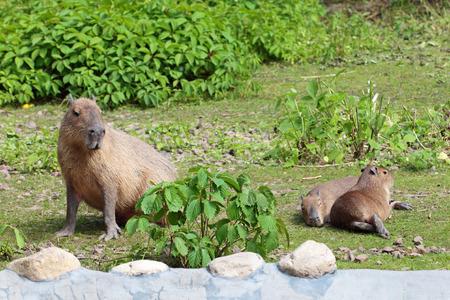 grazed: Capybara (Hydrochoerus hydrochaeris) grazed on a green lawn