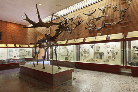 Russia, interior of Moscow Paleontological Museum, the skeleton of the ancient deer