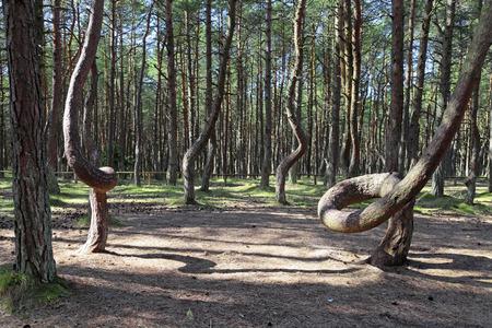 """러시아, 칼리닌그라드 지역, Curonian 침, """"숲 춤""""자연 이상에서 구부러진 나무"""