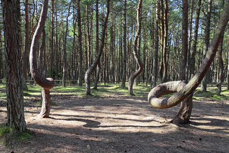 Russia, Kaliningrad region, the Curonian spit, bent trees in natural anomaly