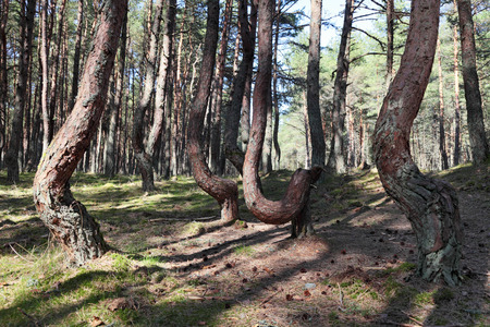 Russia, Kaliningrad region, the Curonian spit, bent trees in natural anomaly Dancing forest Stock Photo