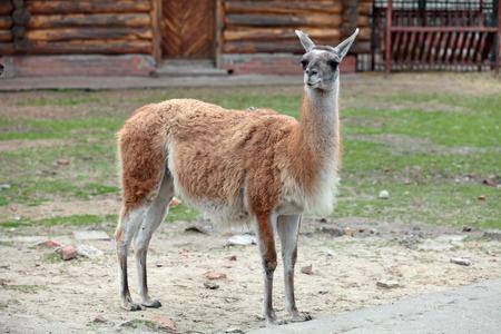 guanicoe: Lama guanicoe Guanaco in the open aviary of the zoo Stock Photo