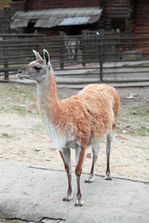guanicoe: Lama guanicoe Guanaco in the open aviary