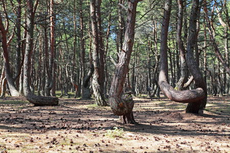 anomalous: Russia, Kaliningrad region, the Curonian spit, bent trees in natural anomaly Dancing forest Stock Photo