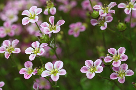 saxifragales: The plant Saxifraga x arendsii Stock Photo
