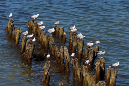 breakwaters: Seagulls sitting on the wooden breakwaters at the sea shore