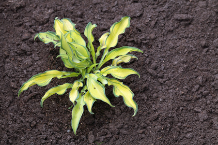 ripple effect: Young plant Hosta Ripple Effect grows on the ground
