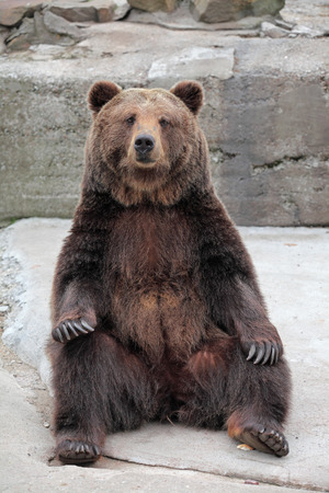 Brown Bear (Ursus arctos) in the zoo 스톡 콘텐츠