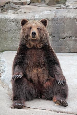 동물원에 갈색 곰 (우수 스 arctos)