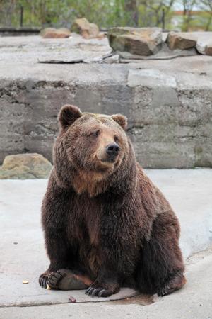 arctos: Orso bruno (Ursus arctos) nel giardino zoologico