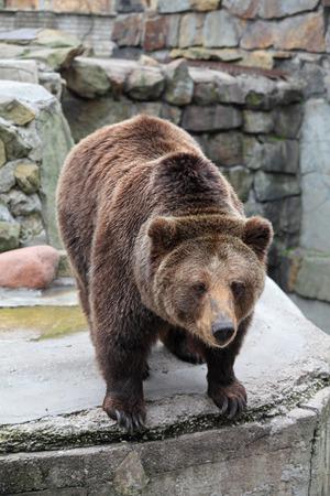 arctos: Brown Bear (Ursus arctos) in the zoo Stock Photo