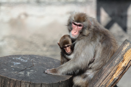 Japanese Macaque (Macaca fuscata), also known as the Snow Monkey, together with a small offspring