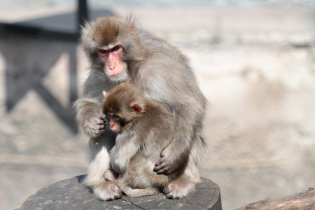 Japanese Macaque (Macaca fuscata), also known as the Snow Monkey, together with a small offspring photo