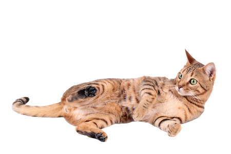 lies down: Brown cat breed Bengal (leopard cat - Prionailurus bengalensis), isolated on white  Stock Photo
