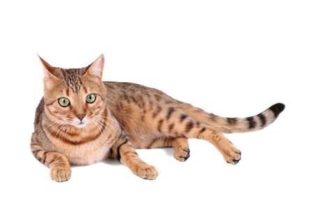prionailurus: Brown cat breed Bengal (leopard cat - Prionailurus bengalensis), isolated on white  Stock Photo
