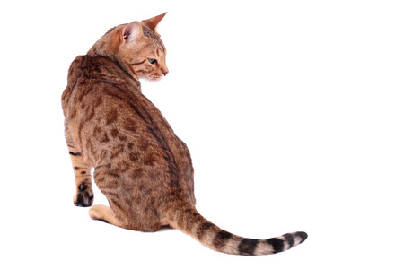 bengalensis: Brown cat breed Bengal (leopard cat - Prionailurus bengalensis), isolated on white  Stock Photo