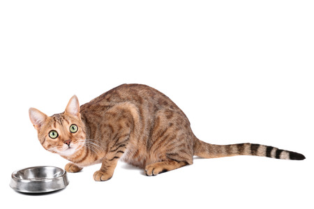 prionailurus: Brown cat breed Bengal (leopard cat - Prionailurus bengalensis) eating from a bowl, isolated on white