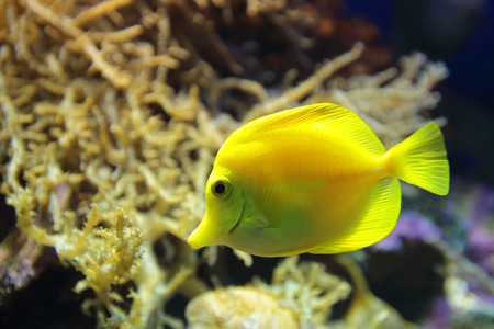 tang: Marine fish Yellow tang (Zebrasoma flavescens), underwater photography