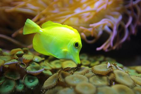 yellow tang: Marine fish Yellow tang (Zebrasoma flavescens), underwater photography