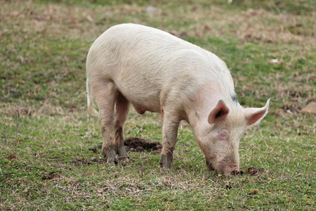 husbandry: Young pigs graze in green meadow
