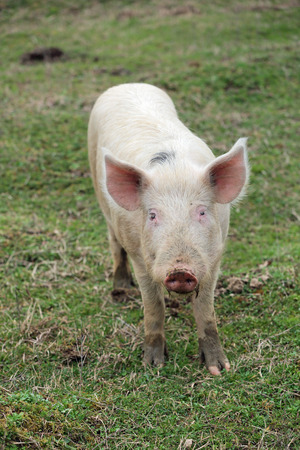 graze: Young pigs graze in green meadow