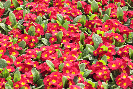 primula: Red flowers of Primula, floral