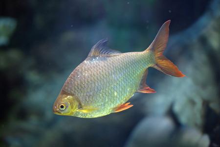 cypriniformes: Freshwater fish Barbonymus schwanenfeldii in natural habitat Stock Photo