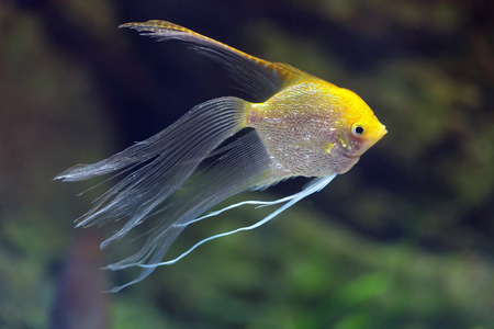 pterophyllum: Rriver fish Pterophyllum (hybrid form Gold and Veil), underwater photography Stock Photo
