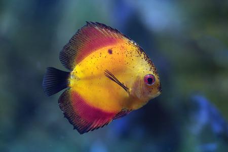 symphysodon: Rriver fish (species Yellow Marlboro), underwater photography Stock Photo
