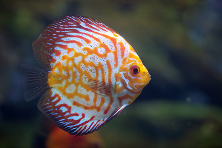 cichlidae: Rriver fish (species Red Spotted Golden), underwater photography
