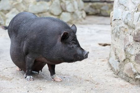 pot bellied: Pregnant Pot-bellied pig, animal living on the farm