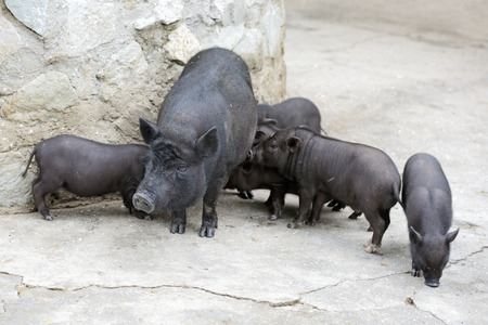 sow: A sow with piglets breed Pot-bellied pig Stock Photo