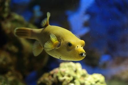 arothron: Arothron meleagris fish (Yellow form), underwater photography