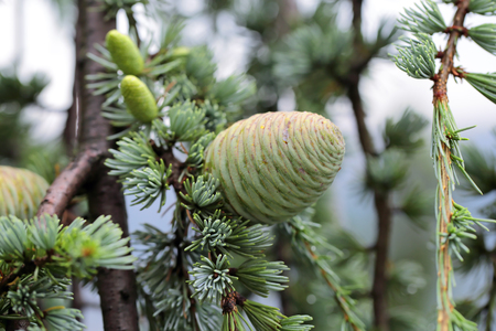 New cones Cedrus atlantica (Glauca Pendula), close-up Imagens